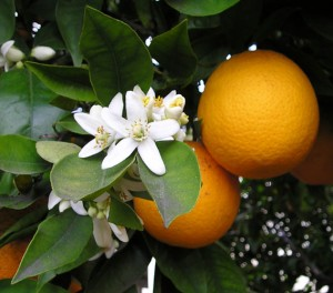 Orange flower and frui